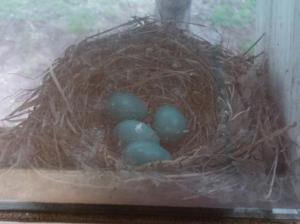 A robin nest with 4 blue eggs.